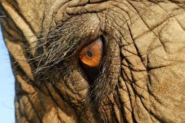 800px-Elephas_Maximus_Eye_Closeup